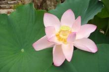 Lotus @ Jikō-rin